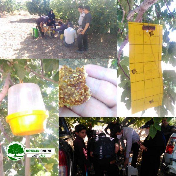با حضور کارشناسان مدیریت حفظ نباتات استان ؛ وضعیت خسارت مگس انجیر آفریقایی (توپیکی) در باغات انجیر کوهمره بررسی شد